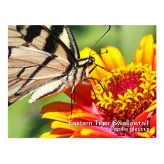 Postal del este de Swallowtail del tigre
