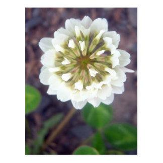 Postal del flor 1 del trébol blanco