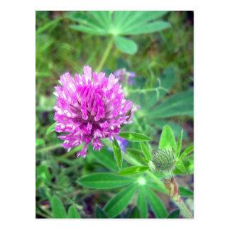 Postal del flor 2 del trébol rojo