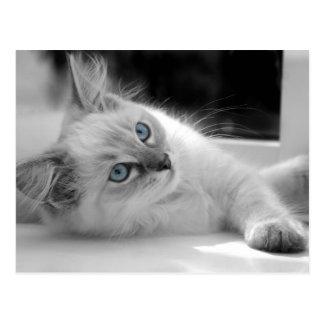 Postal del gatito de Ragdoll