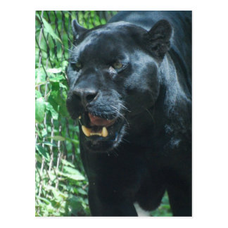Postal del gato de pantera negra