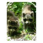 Postal del hábitat del mapache