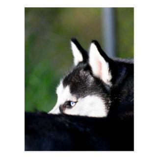 Postal del husky siberiano