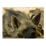 Postal del Hyena el dormir