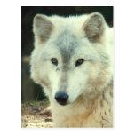 Postal del lobo gris