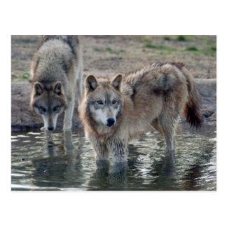Postal del lobo gris de los lobos