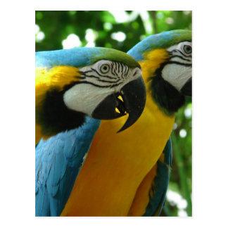 Postal del Macaw del azul y del oro