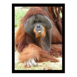 Postal del mono del orangután del Pongo