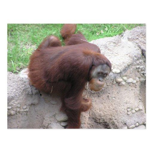 Postal del orangután