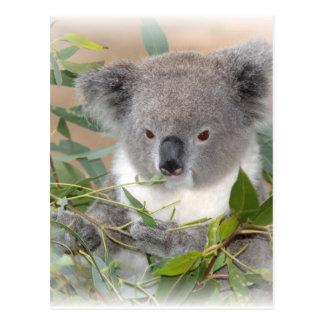 Postal del oso de koala