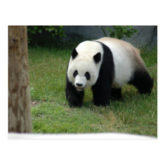Postal del oso de panda gigante