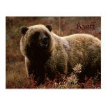Postal del oso grizzly de Banff