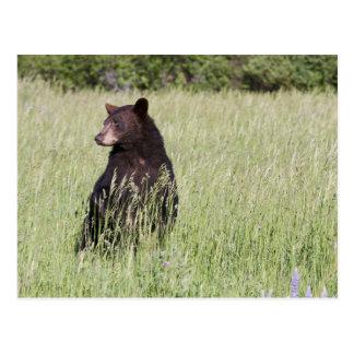 Postal del oso negro
