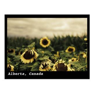 Postal del paisaje del girasol, Alberta, Canadá