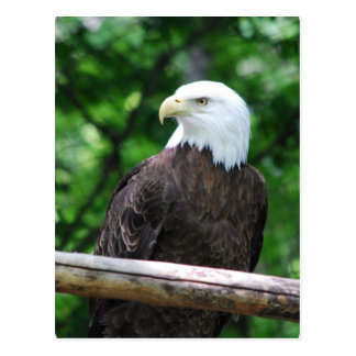 Postal del pájaro de Eagle calvo