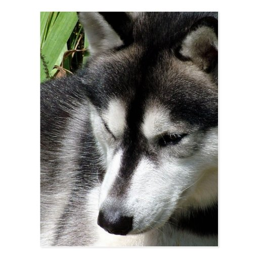 Postal del perfil del husky siberiano
