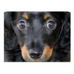 Postal del perro de perrito de Daschund