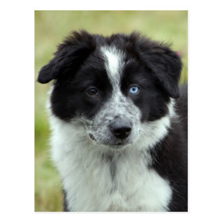 Postal del perro de perrito del border collie