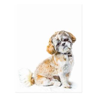 Postal del perro de Shih Tzu
