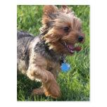 Postal del perro de York Terrier