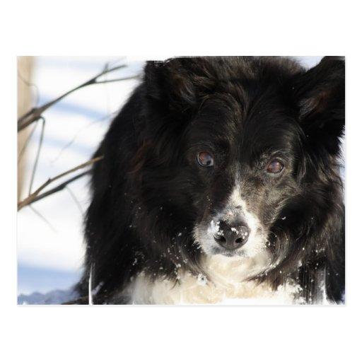 Postal del perro del border collie