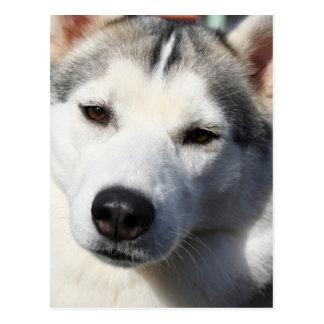 Postal del perro del husky siberiano