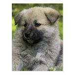 Postal del perro del perro chino de perro chino
