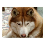 Postal del perro esquimal de Brown