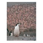 Postal del pingüino de Chinstrap