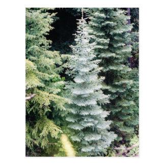 postal del pino de Colorado