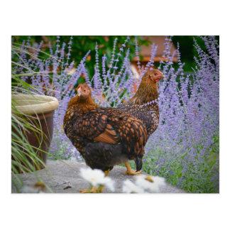 Postal del pollo