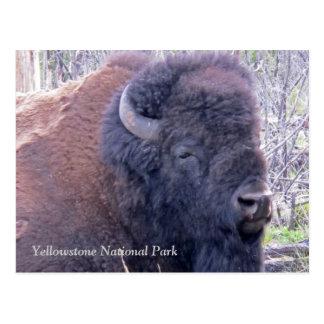 Postal del primer del bisonte