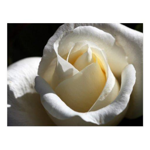 Postal del rosa blanco