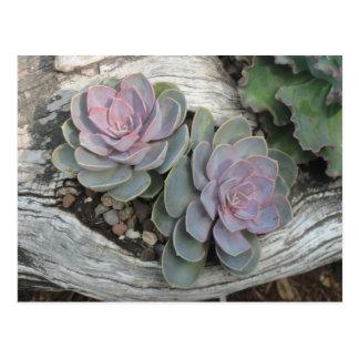Postal del Succulent de Echeveria