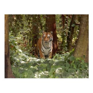 Postal del tigre de Bengala 7x5