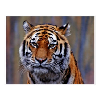 Postal del tigre de Bengala