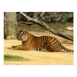 Postal del tigre siberiano