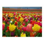 Postal del tulipán