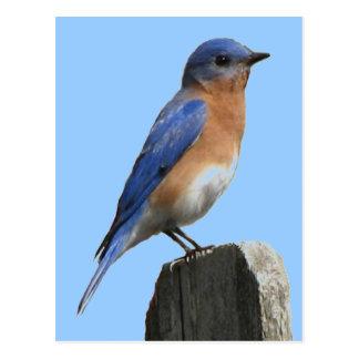 Postal del varón del Bluebird