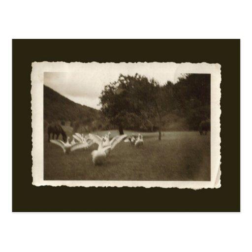 Postal del vintage - gansos y caballos