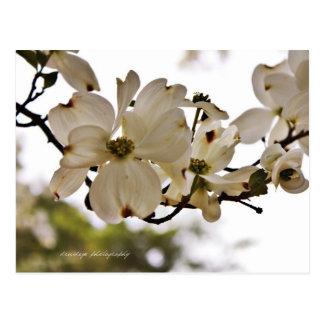 Postal divina de la primavera del Dogwood