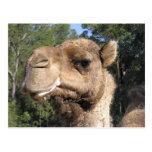 Postal Drooling del camello