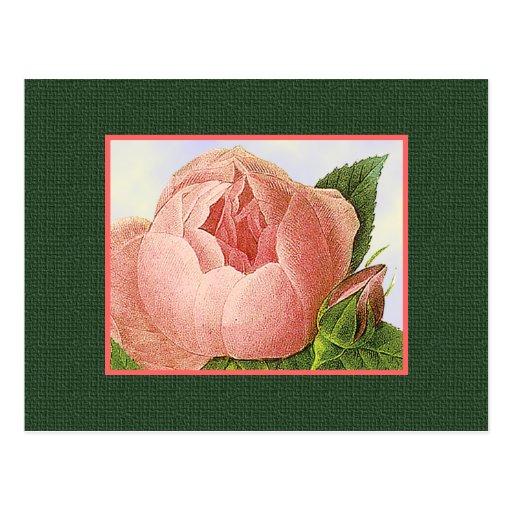 Postal en blanco color de rosa botánica rosada del