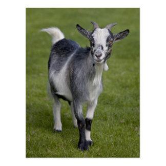 Postal enana de la cabra