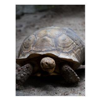 Postal estimulada africana de la tortuga