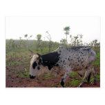 Postal etíope de la vaca del Brahman