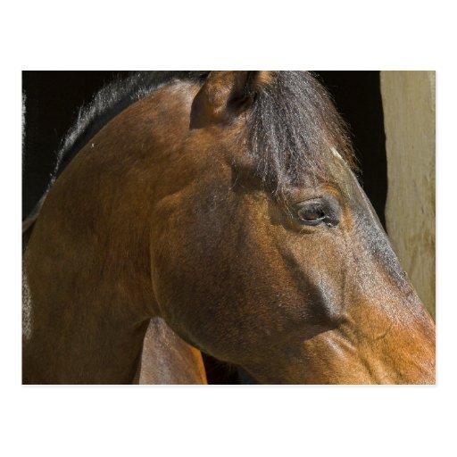 Postal excelente de los caballos