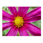 Postal floral del cosmos púrpura
