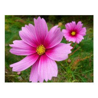 Postal floral del cosmos rosado