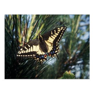 Postal - foto del pino de Swallowtail de la maripo